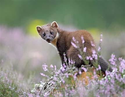 Mår i naturen
